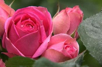 розы идея